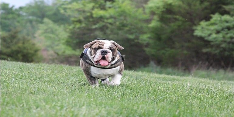 Best Harness for English Bulldog