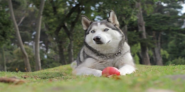 Best Toys For Siberian Huskies