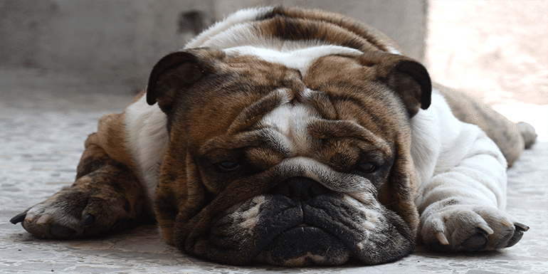 Best Dog Bed For English Bulldog