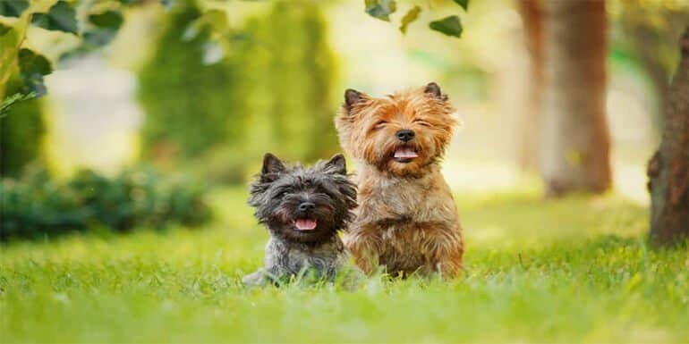 Best Dog Food for Cairn Terrier