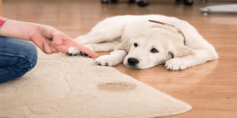 How to Get Dog Urine Out Of Wood under Carpet
