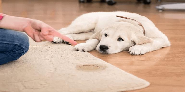 Get Dog Urine Out Of Wood under Carpet