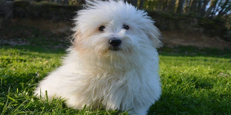 best dog food for coton de tulear