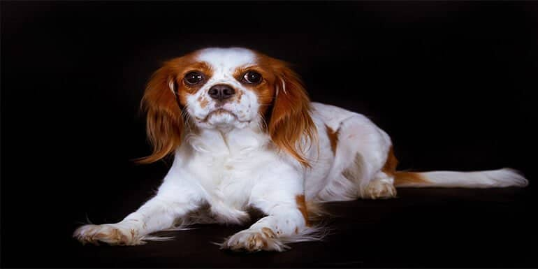 Best Brush for Cavalier King Charles Spaniel