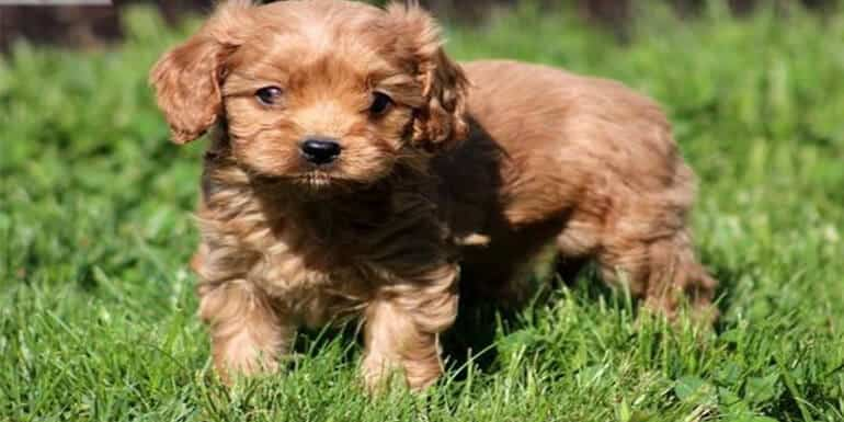 Best Dog Food for Cavapoo