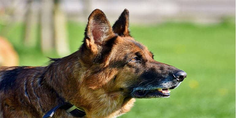 Best e Collar for German Shepherd